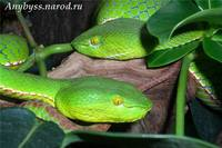 Trimeresurus popeorum 2