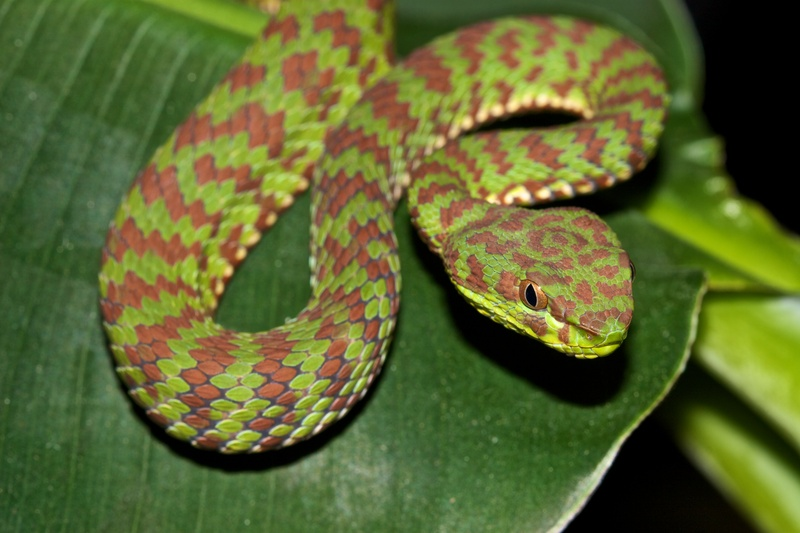 Змея куфия