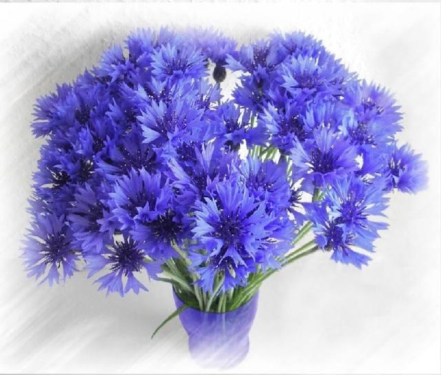 лена василек и белый день хороши весной в саду цветочки
