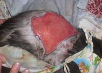 Как залечить открытую рану у кота
