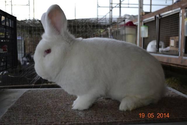 Кролик породы Новозеландский Белый. - Страница 30 5598631_m