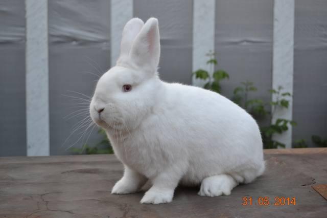 Кролик породы Новозеландский Белый. - Страница 30 5598639_m