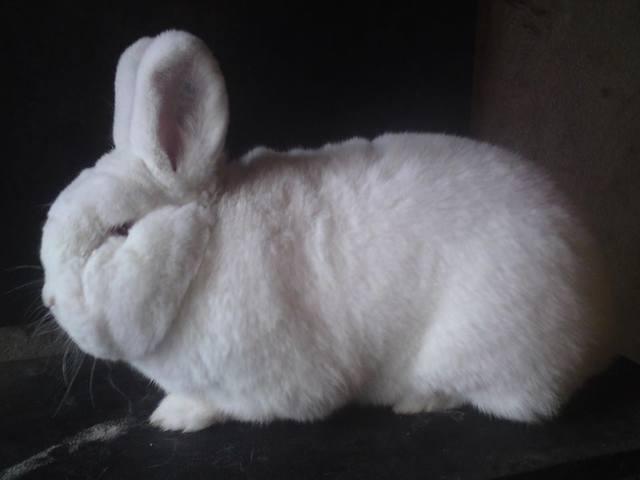 Кролик породы Новозеландский Белый. - Страница 30 5598669_m
