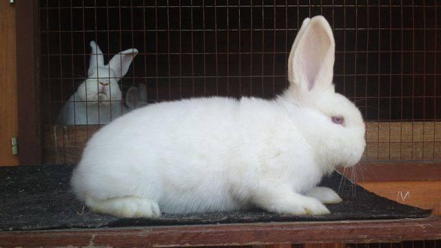 Кролик породы Новозеландский Белый. - Страница 30 5628438_m