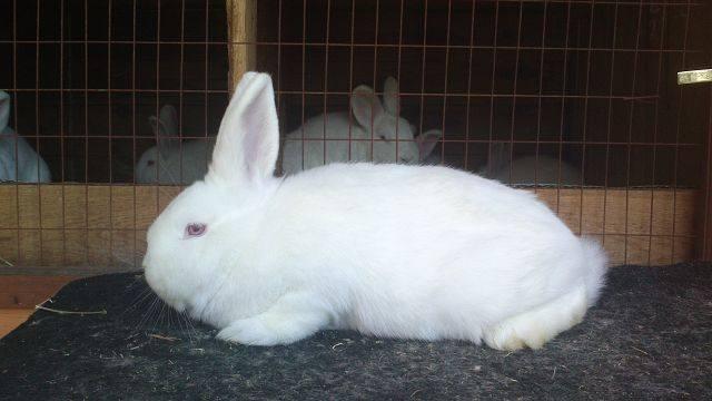 Кролик породы Новозеландский Белый. - Страница 30 5628440_m