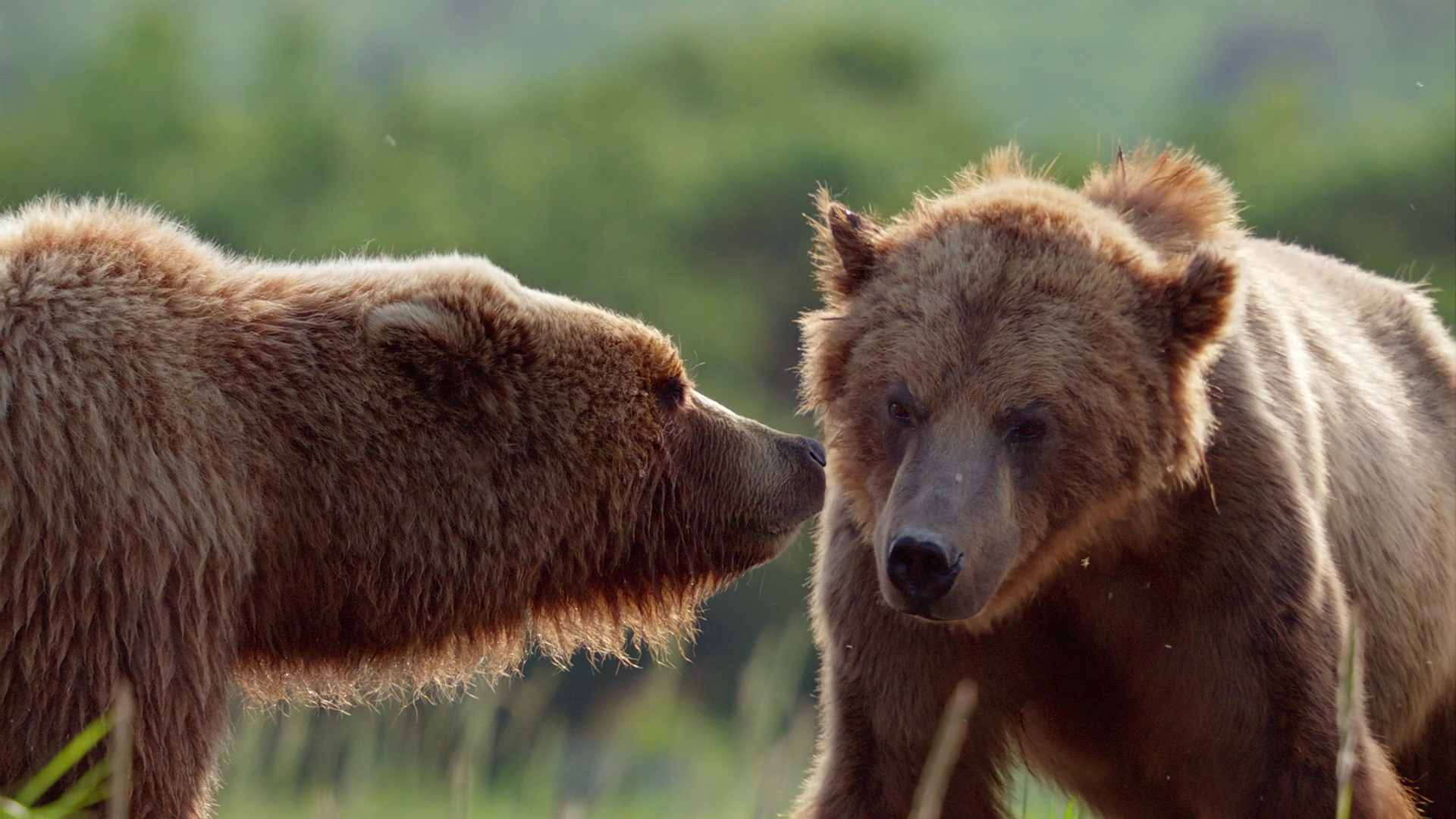 Медведи / DisneyNature: Bears (2014) BDRip 1080p