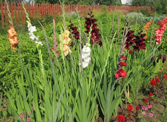 Гладиолусы выращивание и уход фото