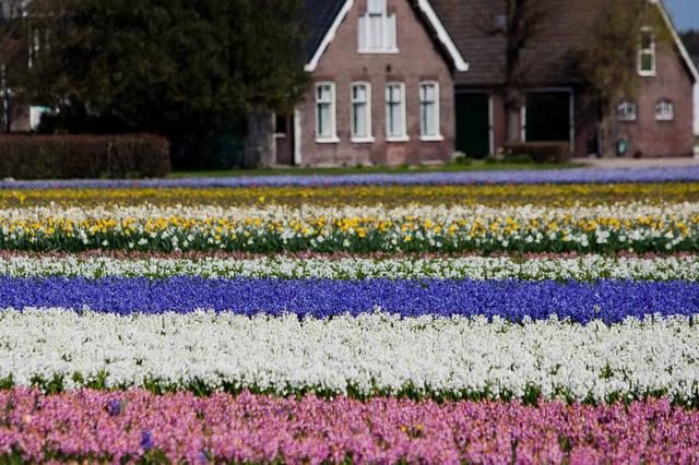 Фото поля цветов в голландии