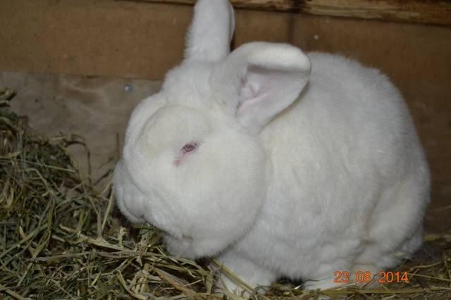 Кролик породы Новозеландский Белый. - Страница 30 6101009_m