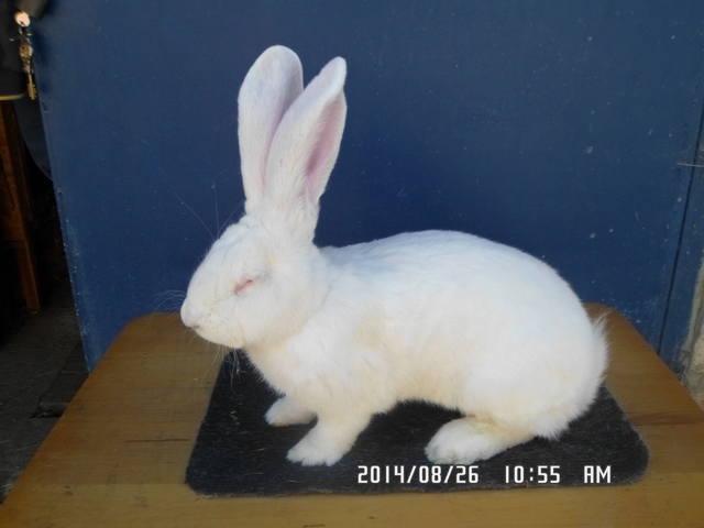 Кролики великаны. 6127233_m