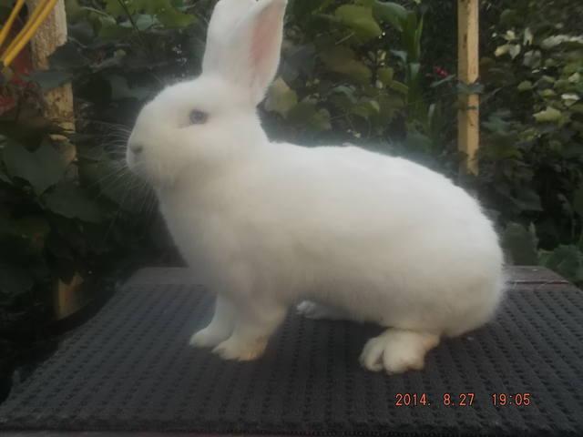Венский белый кролик. 6146928_m