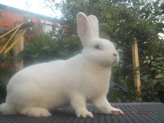 Венский белый кролик. 6146957_m