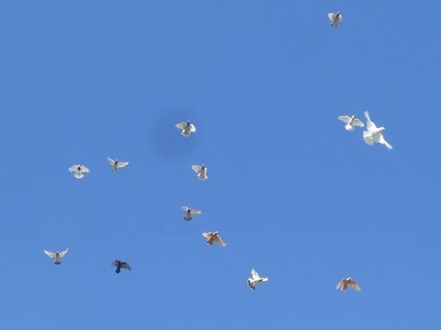 Голуби Асхата (Талдыкорган) - Страница 9 6150110_m