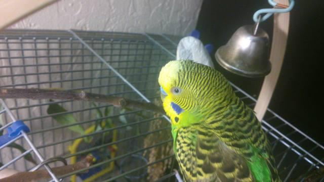 Волнистый попугай закрывает глаза