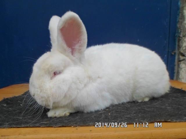 Кролик породы Новозеландский Белый. - Страница 30 6468132_m
