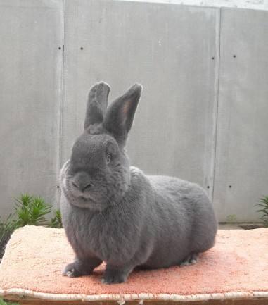 Венский голубой кролик - Страница 13 6581084_m