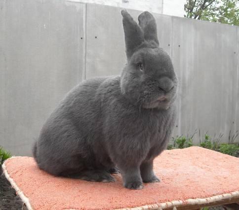 Венский голубой кролик - Страница 13 6581085_m