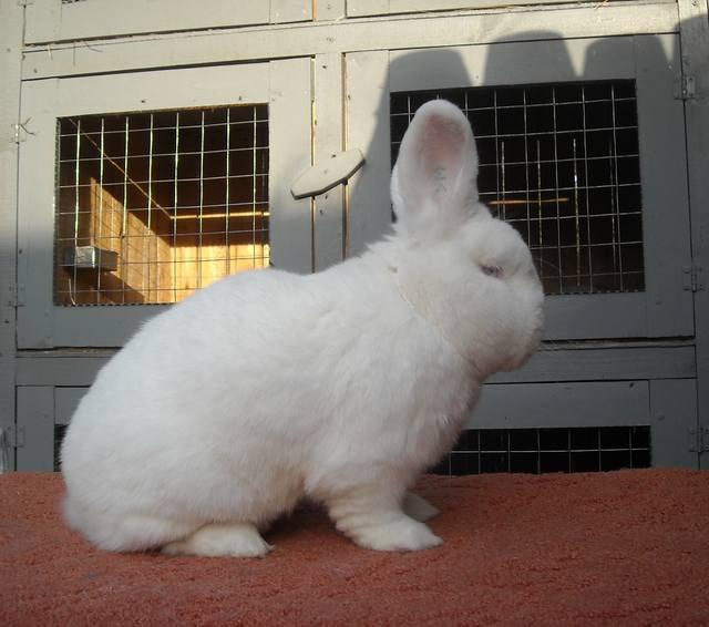 Кролик породы Новозеландский Белый. - Страница 30 6581122_m