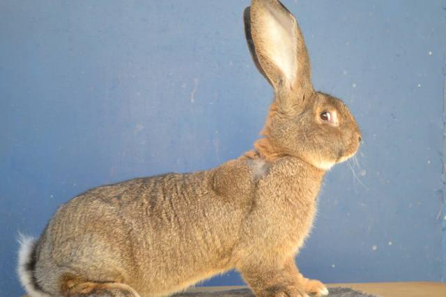 Кролики великаны. 6618372_m