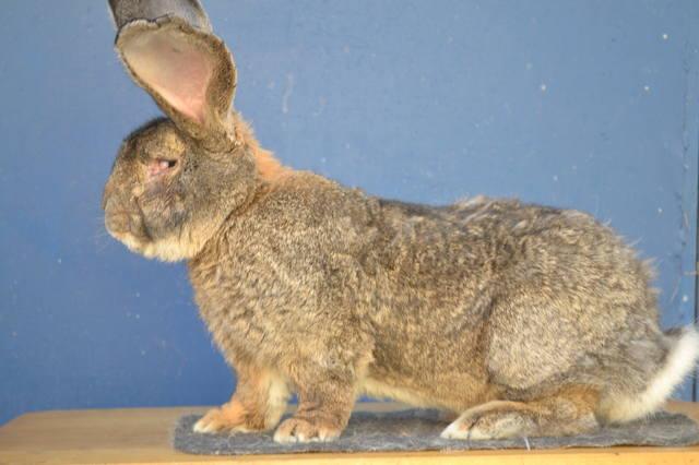 Оптимальный репродуктивный возраст кроликов 6625786_m