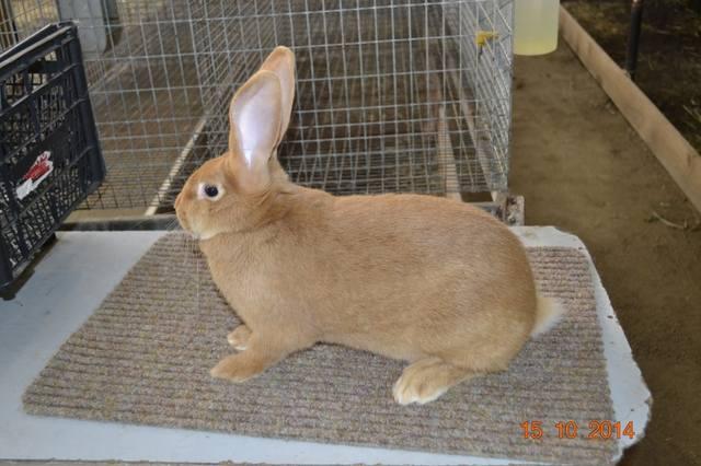 Кролики породы Бургундский - Страница 9 6654498_m