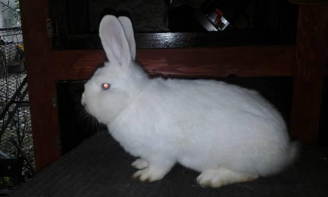 Венский белый кролик. - Страница 3 6738021_m