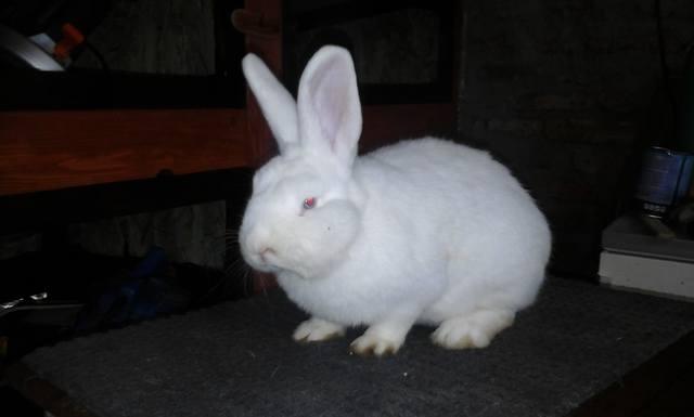 Венский белый кролик. - Страница 3 6738717_m