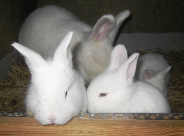 Венский белый кролик. - Страница 3 6866720_m