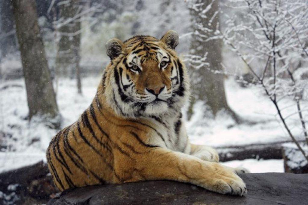 Невероятно редкий амурский тигр выпущен на волю. Поразительные кадры