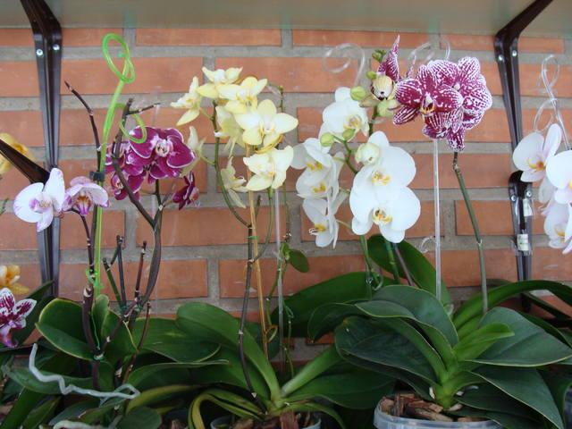 Орхидеи - Страница 16 17344789_m