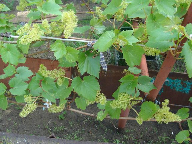 Виноград- секреты выращивания - Страница 31 17589009_m