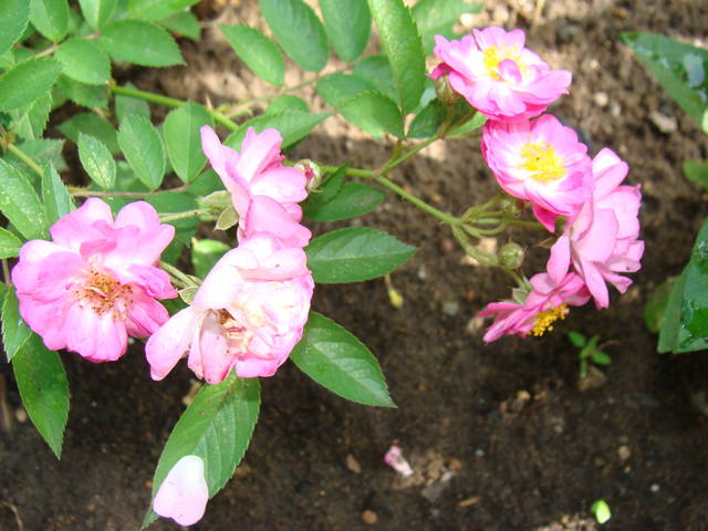 Розы цветут 17726439_m