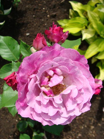 Розы цветут 17726442_m