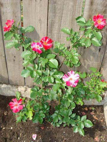 Розы цветут 17726441_m