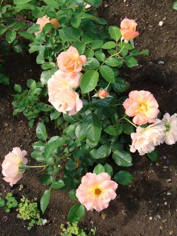 Розы цветут 17726444_m