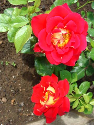 Розы цветут 17726443_m