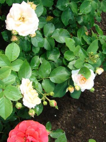 Розы цветут 17726446_m