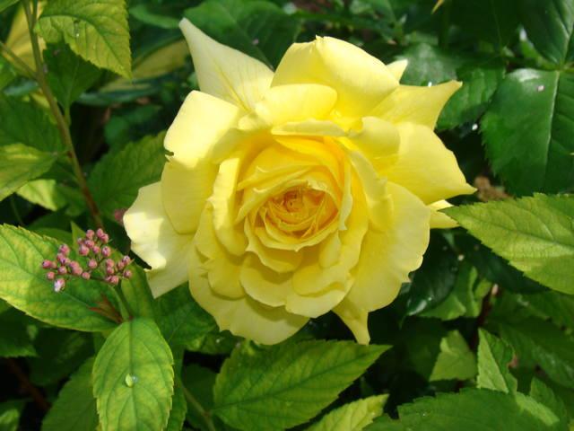 Розы цветут 17726449_m