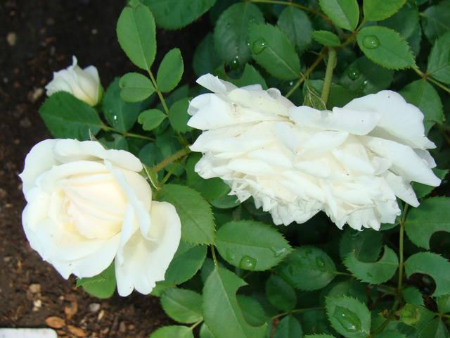 Розы цветут 17726462_m