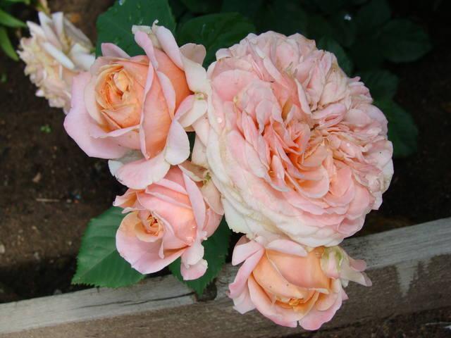 Розы цветут 17726461_m