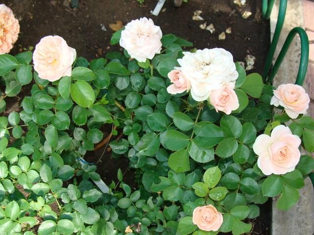 Розы цветут 17726464_m