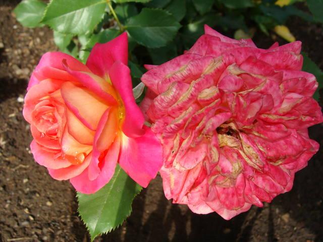Розы цветут 17726466_m