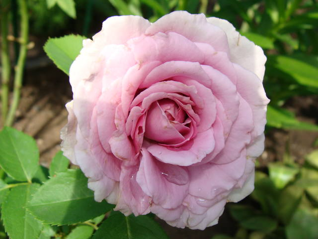 Розы цветут 17726467_m