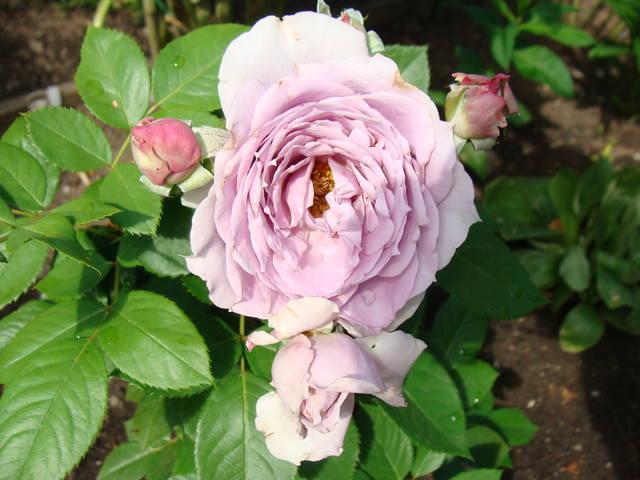 Розы цветут 17726468_m