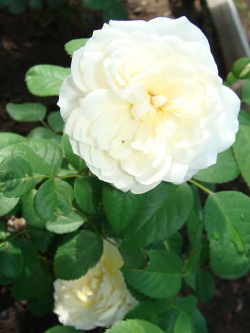 Розы цветут 17726470_m