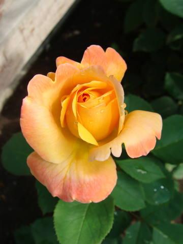 Розы цветут 17726469_m