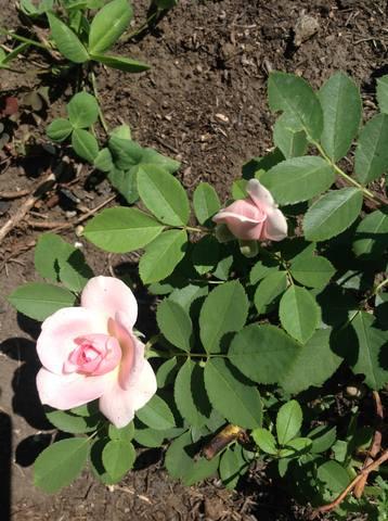 Розы цветут 17748533_m