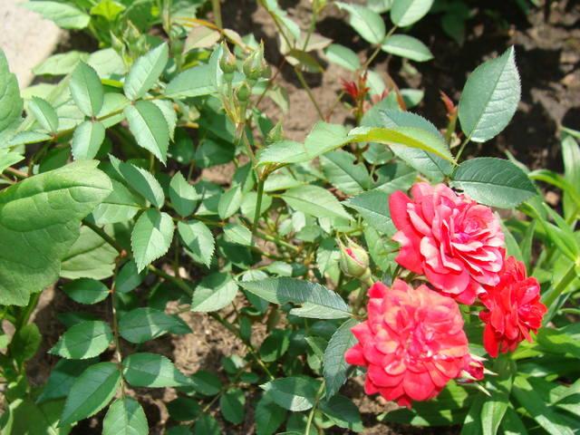 Розы цветут 17748574_m