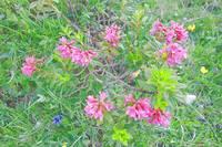 Цветы в горной тундре на склоне Сассолунго. Фото Морошкина В.В.