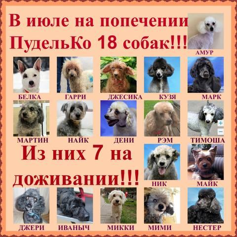 Собаки находящиеся на попечении Пудель команды 2017 год. 17936136_m